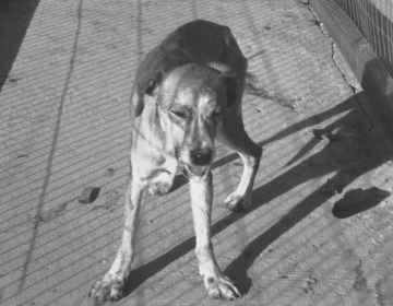 pies chory na wściekliznę, pl.wikipedia.org