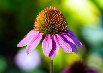 Jeżówka - zdjęcie partnera, Źródło: pixabay.com