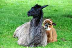 Alpaca Family, franky242 / www.freedigitalphotos.net