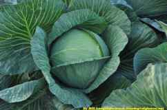 cabbage, by Bill Longshaw/ www.freedigitalphotos.net