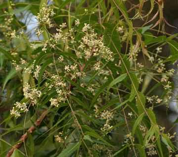 Neem - Miodla indyjska, melia indyjska - Aarya Veppu or Indian-lilac Azadirachta indica in Hyderaba