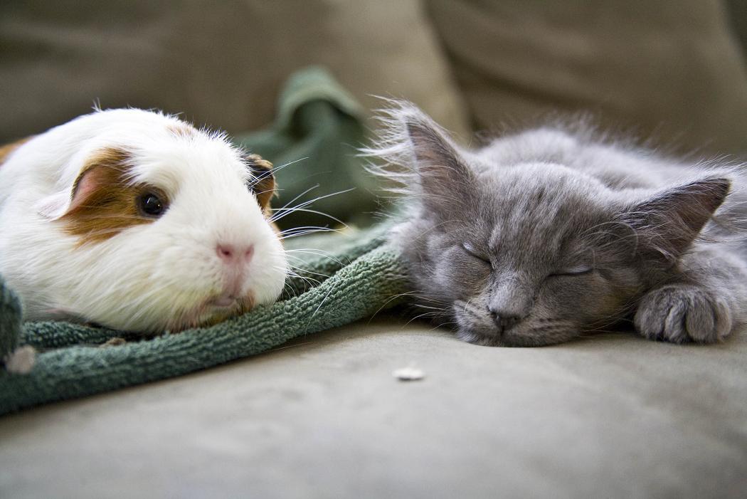 Kot i chomik wylegują się na kanapie - freerangestock.com
