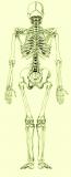 szkielet.png